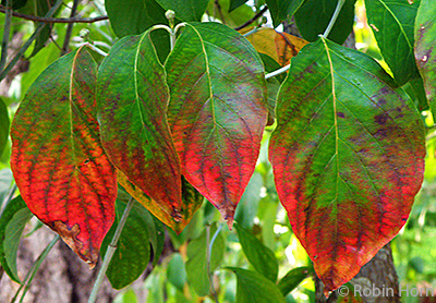 Red and Green Dogwood Leaves