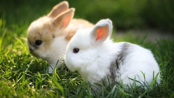 arnab-putih-makan-rumput