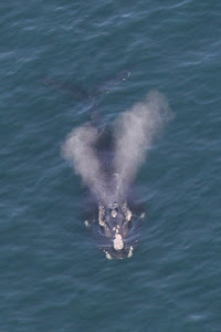Right Whale with V-shaped blow