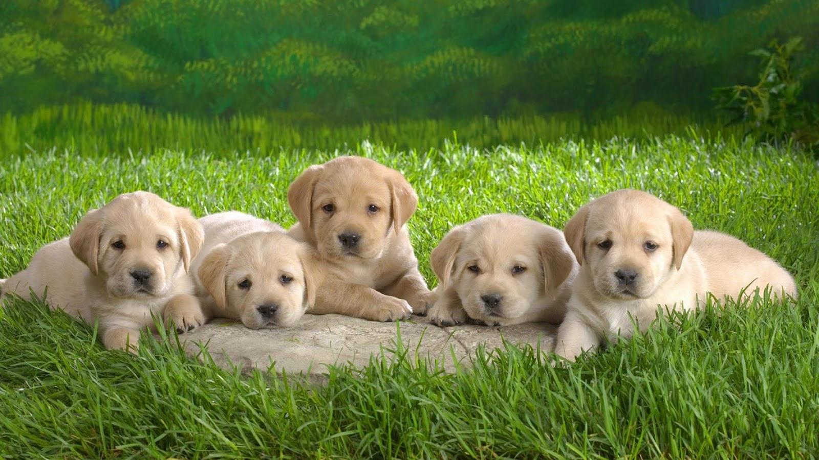 Cute Puppies HD wallpaper 1080p