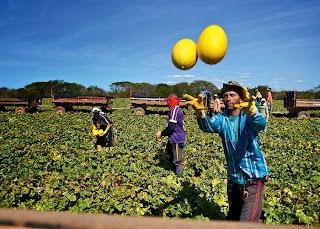 Sob o sol escaldante e pouca água, agricultores nordestinos produzem frutas de alta qualidade com o gotejamento.