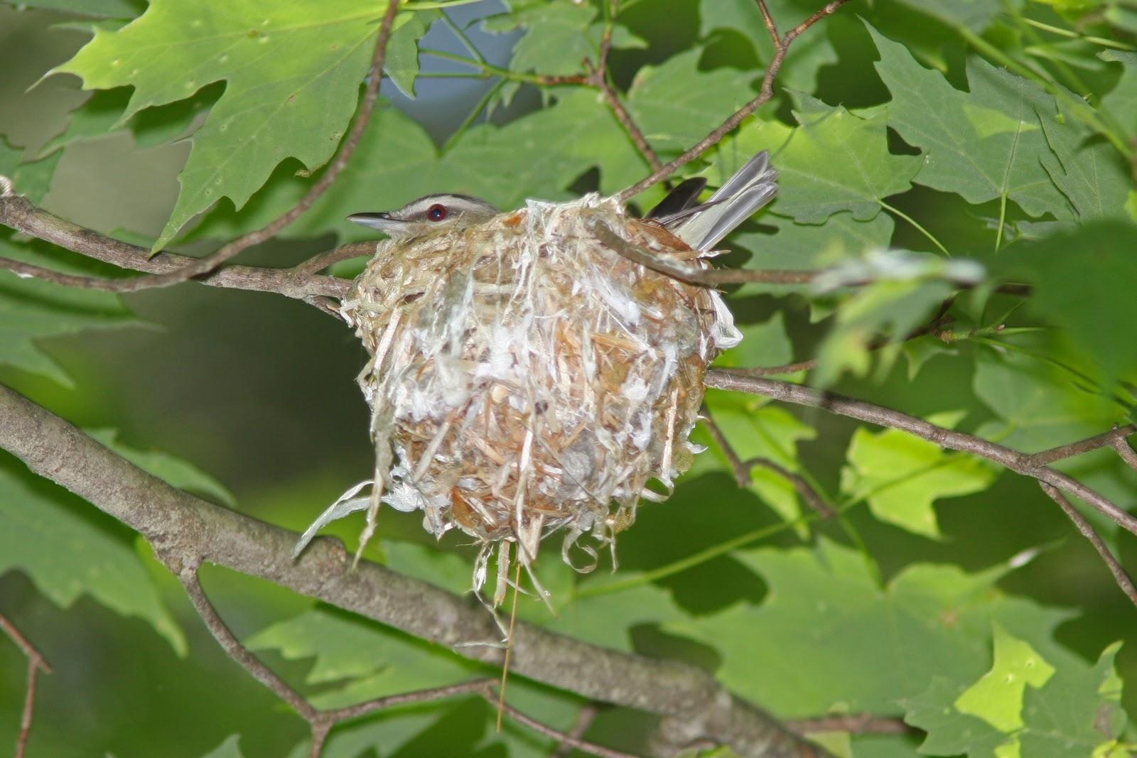 Red eyed vireo nest - photo#2