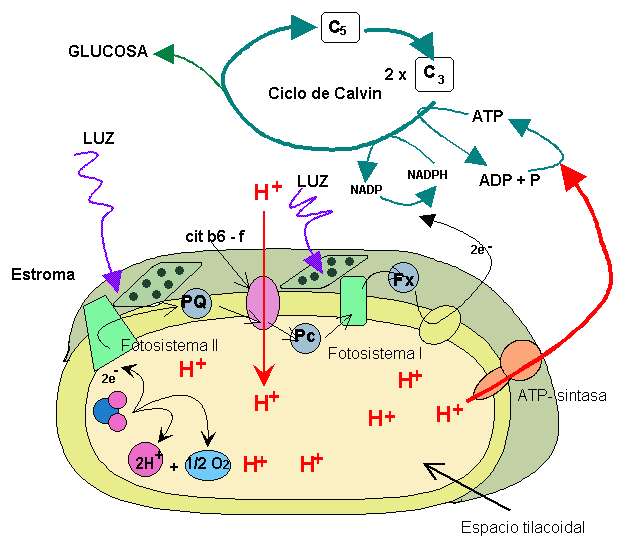 ruta anabolica fotosintesis