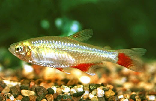 Aquarium care / Bloodfin Tetra Care: The bloodfin tetra is a great ...