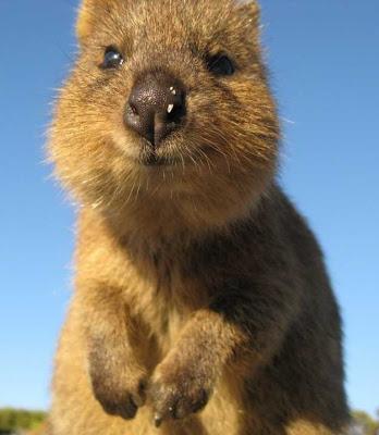 """Marsupial """"Quokka"""" sorrindo para a foto"""
