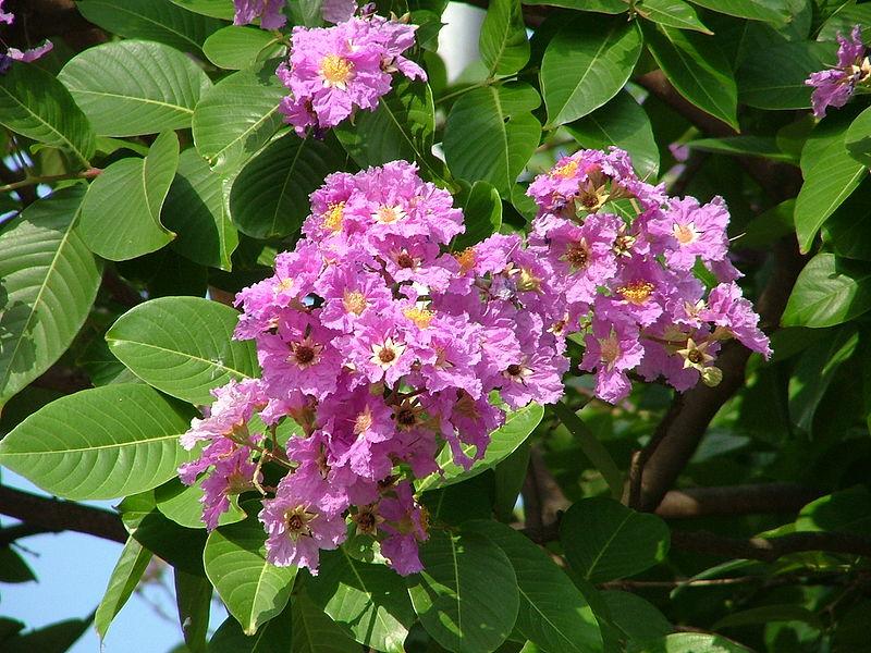 Banaba herbal plant