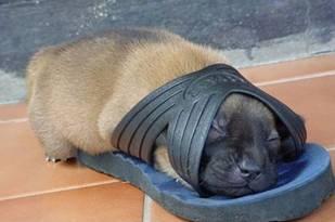Cão a dormir no Chinelo