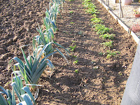 Leeks and under the ground the promise of parsnips and celeriac!