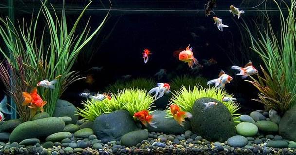 Usaha Ikan Hias Air Tawar   Usaha Apa?