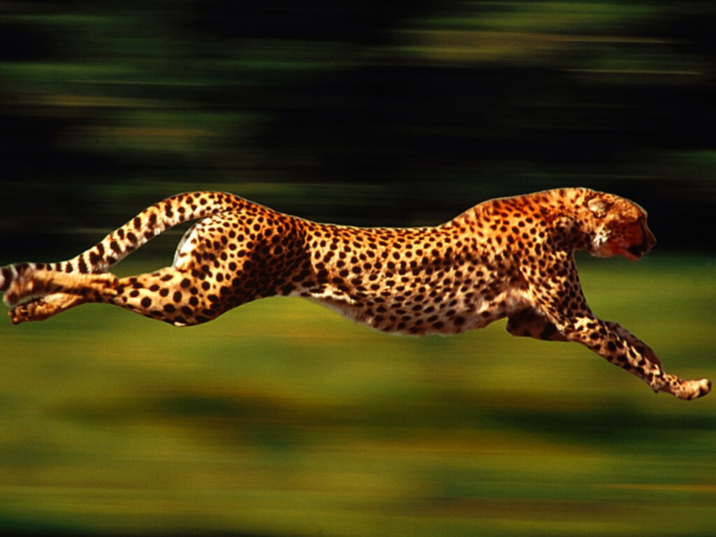 What is the name of the cat that looks like a cheetah