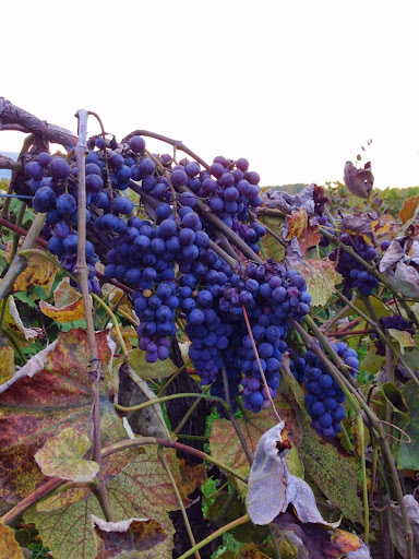Bunches of sovereign coronation grapes on a grapevine