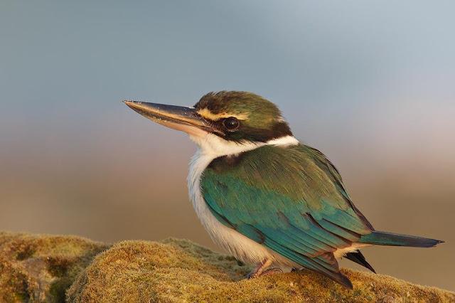 Andaman Kingfisher