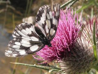 mariposa con cardo