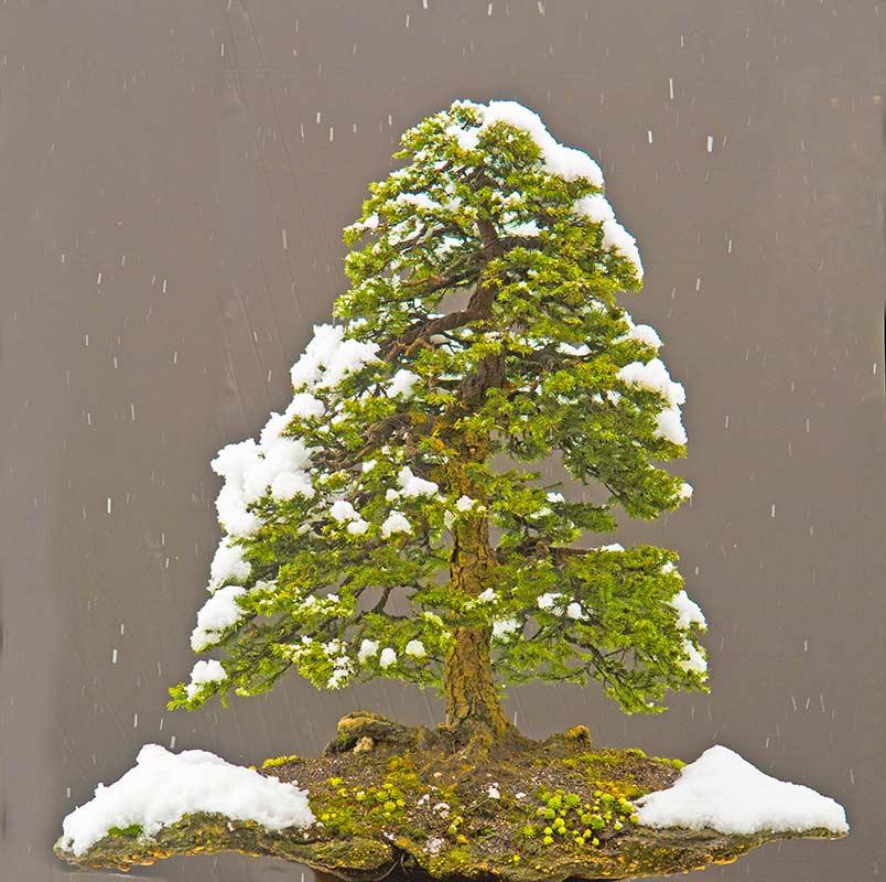 Ezo spruce #2
