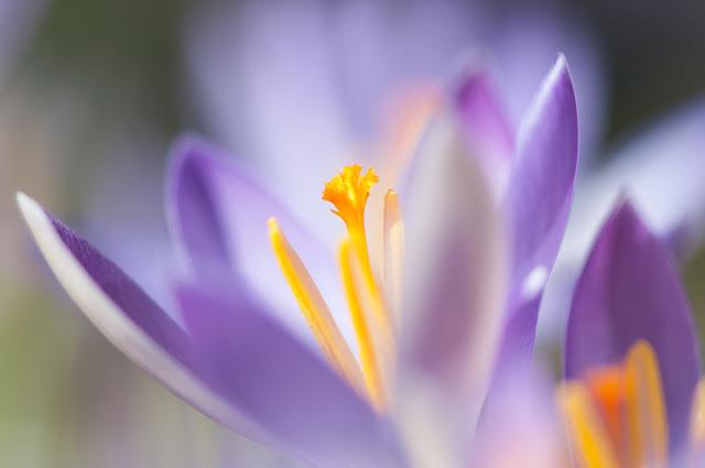 Frühling, die ersten Krokusse