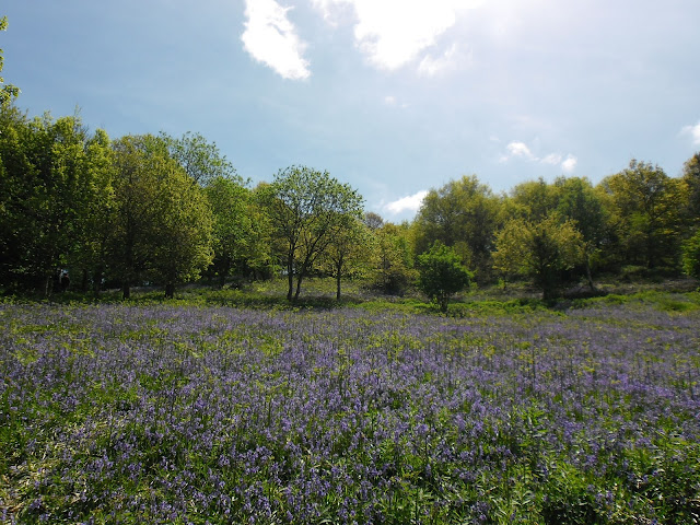 Clent, Worcestershire - bluebells - summer photography