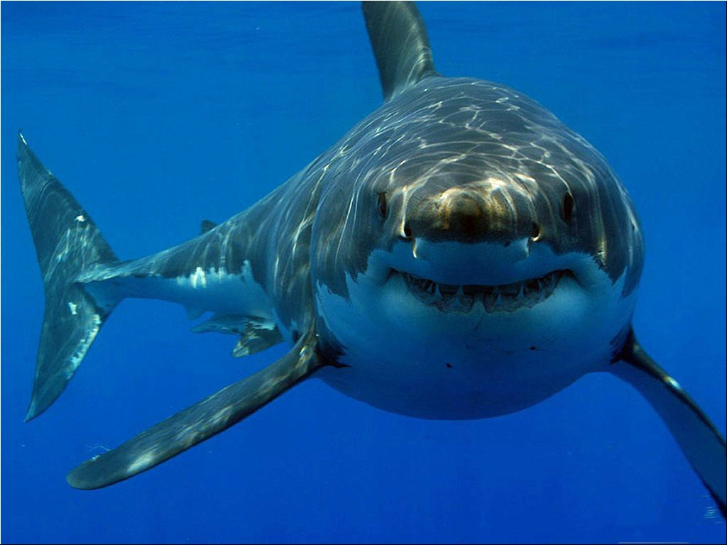 Shark Wallpaper Hd For Desktop Great white shark hd