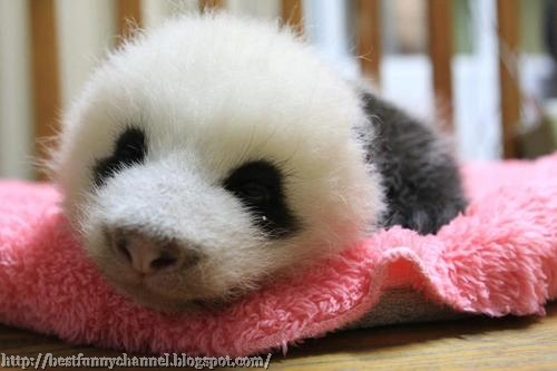 panda bears pictures 36