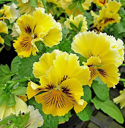 Please Pick My Pansies For Your Blog :)