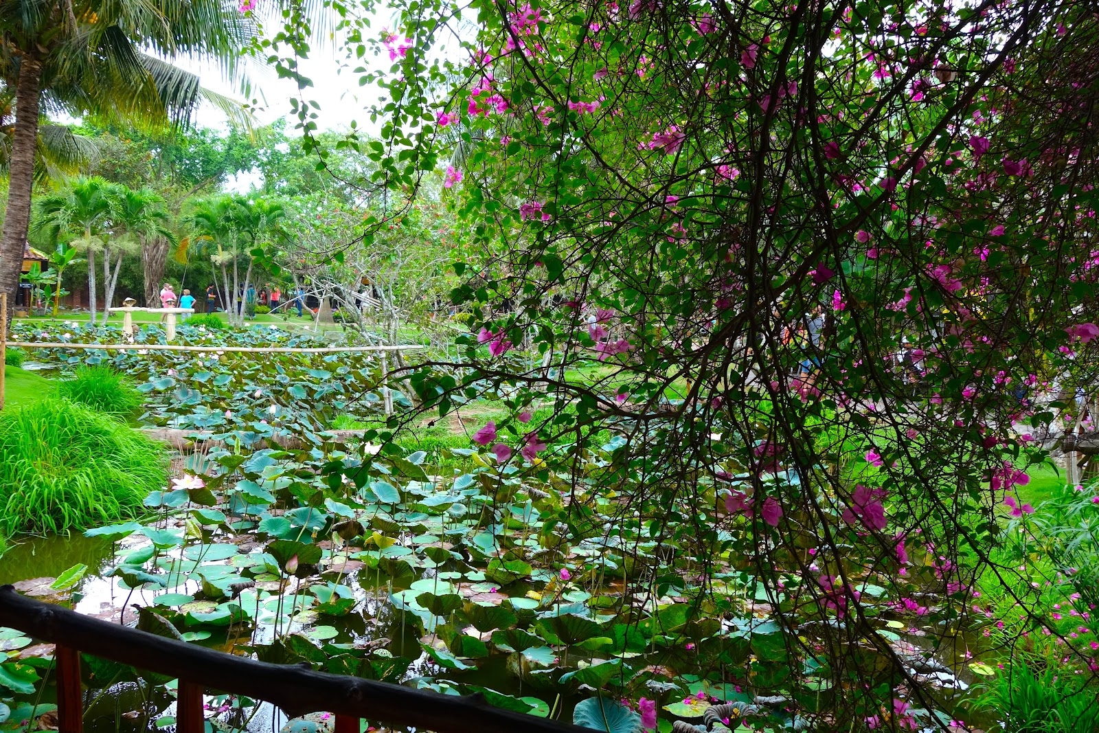 lotus pond Vietnam 2015