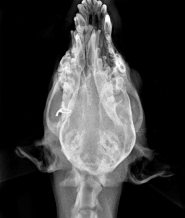 fractura de mandíbula en canino