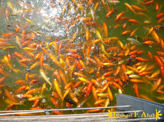 Koi fishes at Nuvali Park