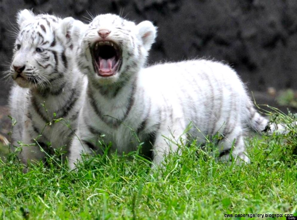 Cute Baby White Tiger Cubs HD Wallpapers HD Wallpaper