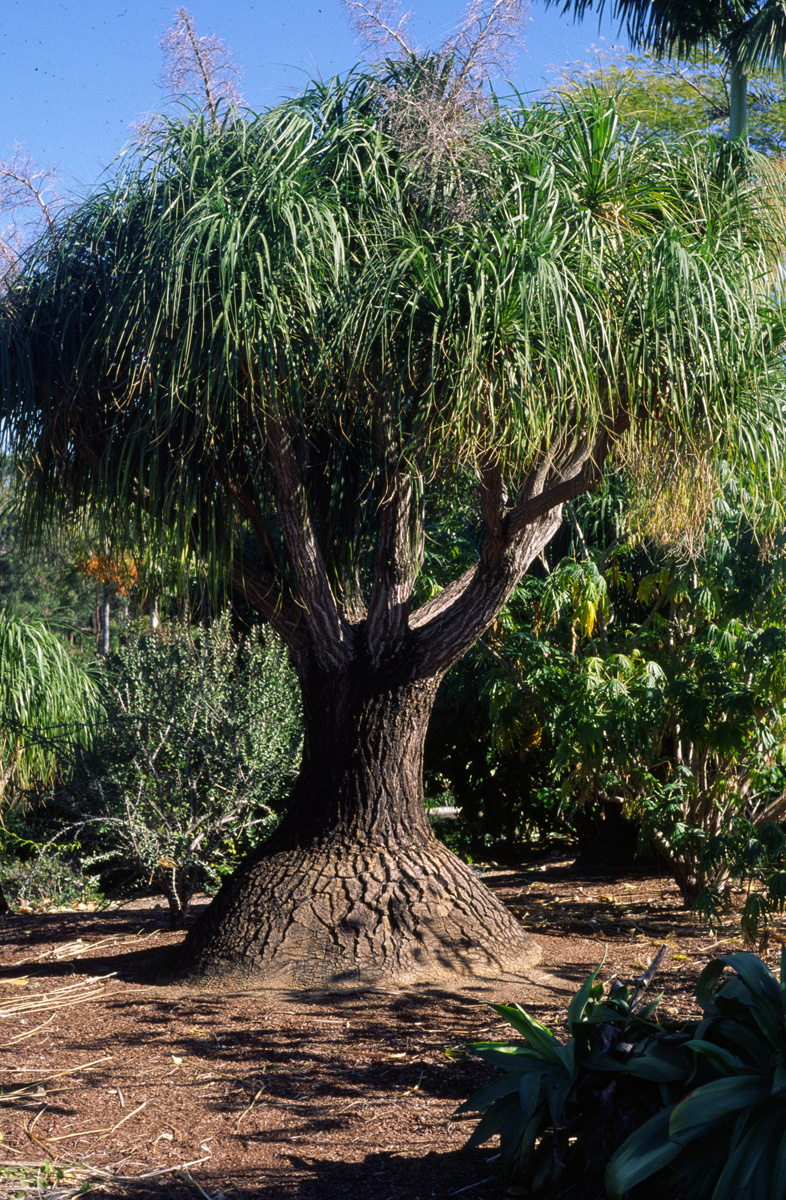 Trees planet beaucarnea recurvata ponytail palm for Beaucarnea recurvata