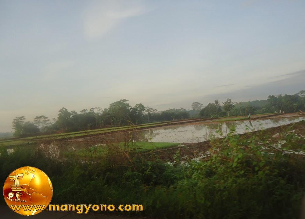 Tantangan menanam padi dimusim hujan di Pagaden Barat