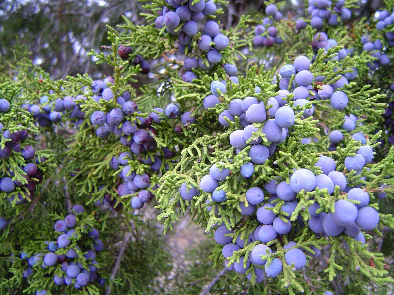 Juniper berries: use, medicinal properties and contraindications 31