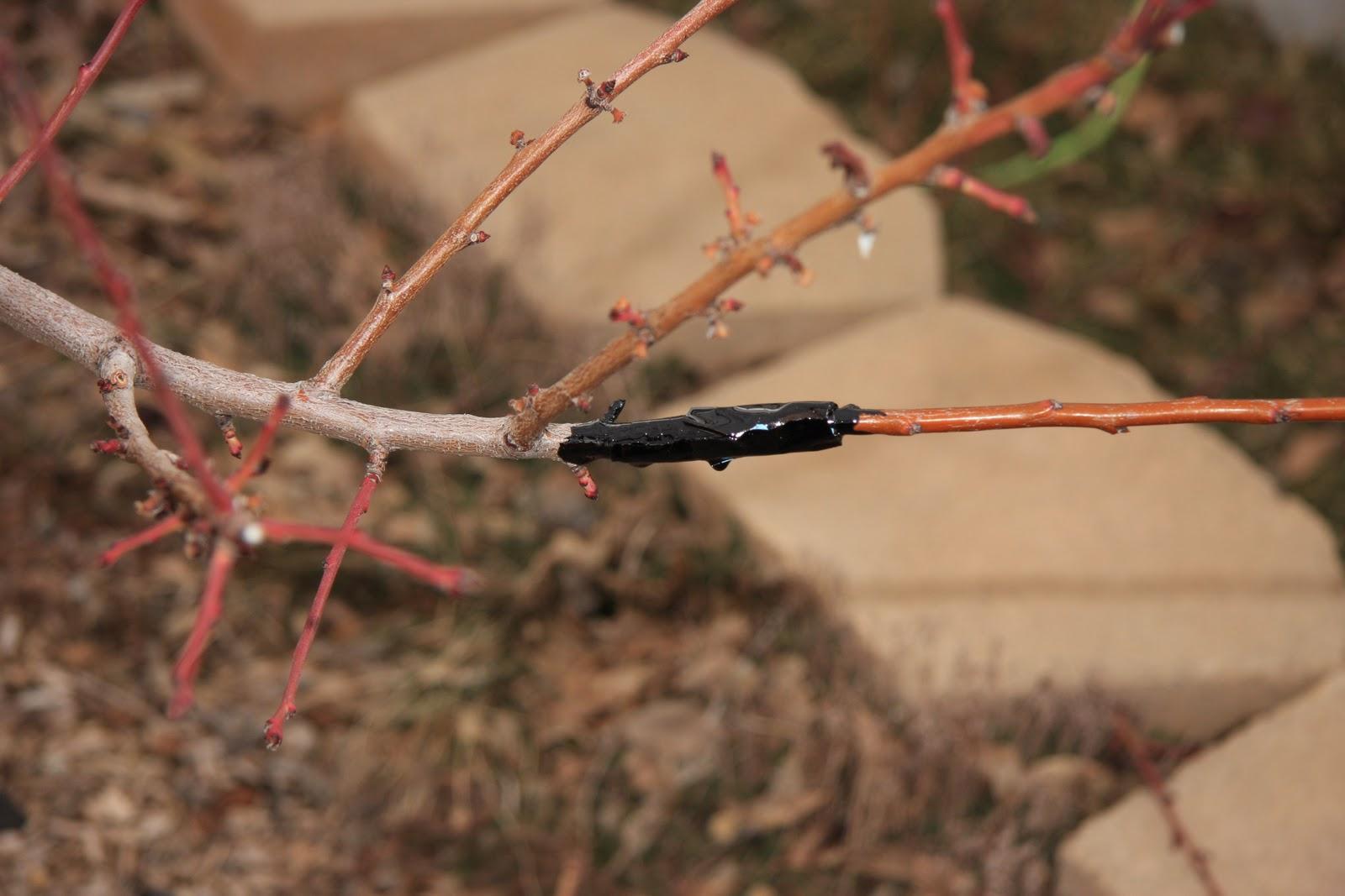 Rich ideas - Graft plum tree tips ...