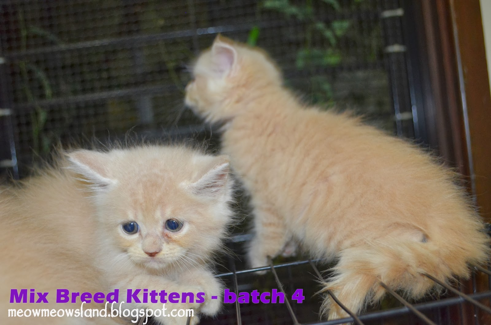 Meow Meow s Land Mix Breed Kittens Batch 4 All Sold
