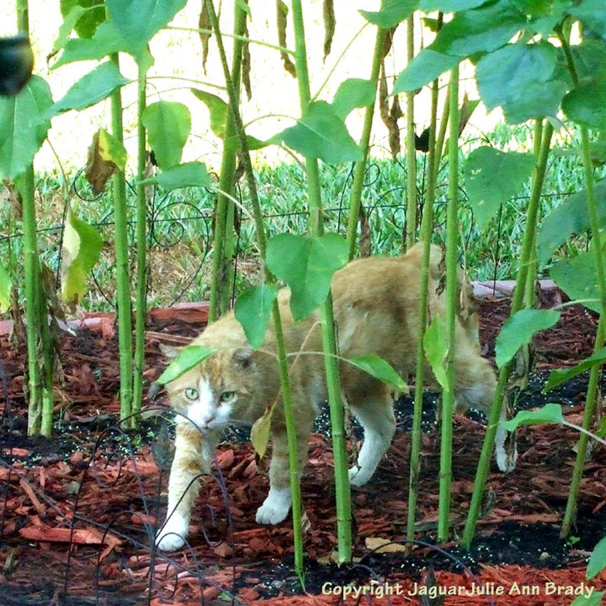 Orange Male Tabby Cat Walking Through my Sunflower Garden ~ JaguarJulie
