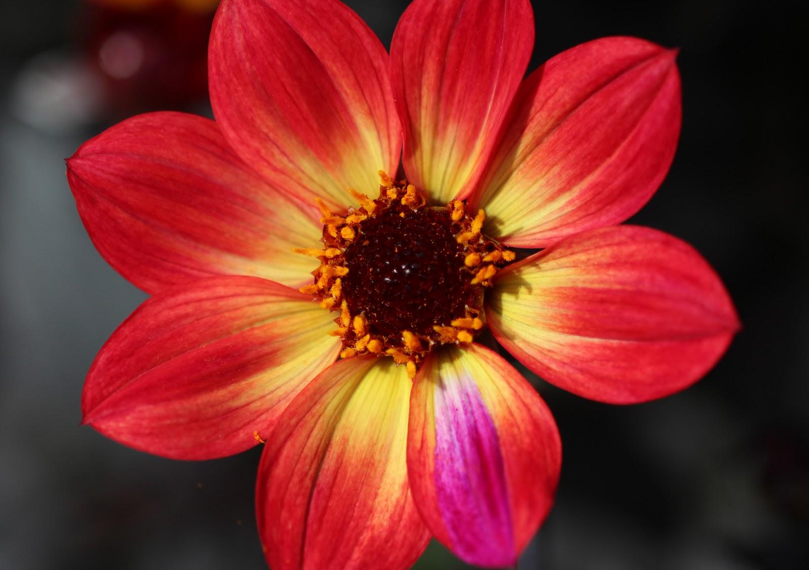 http://3.bp.blogspot.com/-Fts9Yqo4HD0/TqFHUREhpkI/AAAAAAAACPo/IGf6BUDGSfU/s1600/interestingdahlia.jpg