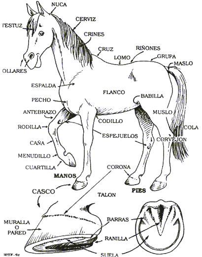Dibujo de un caballo señalando sus partes para colorear