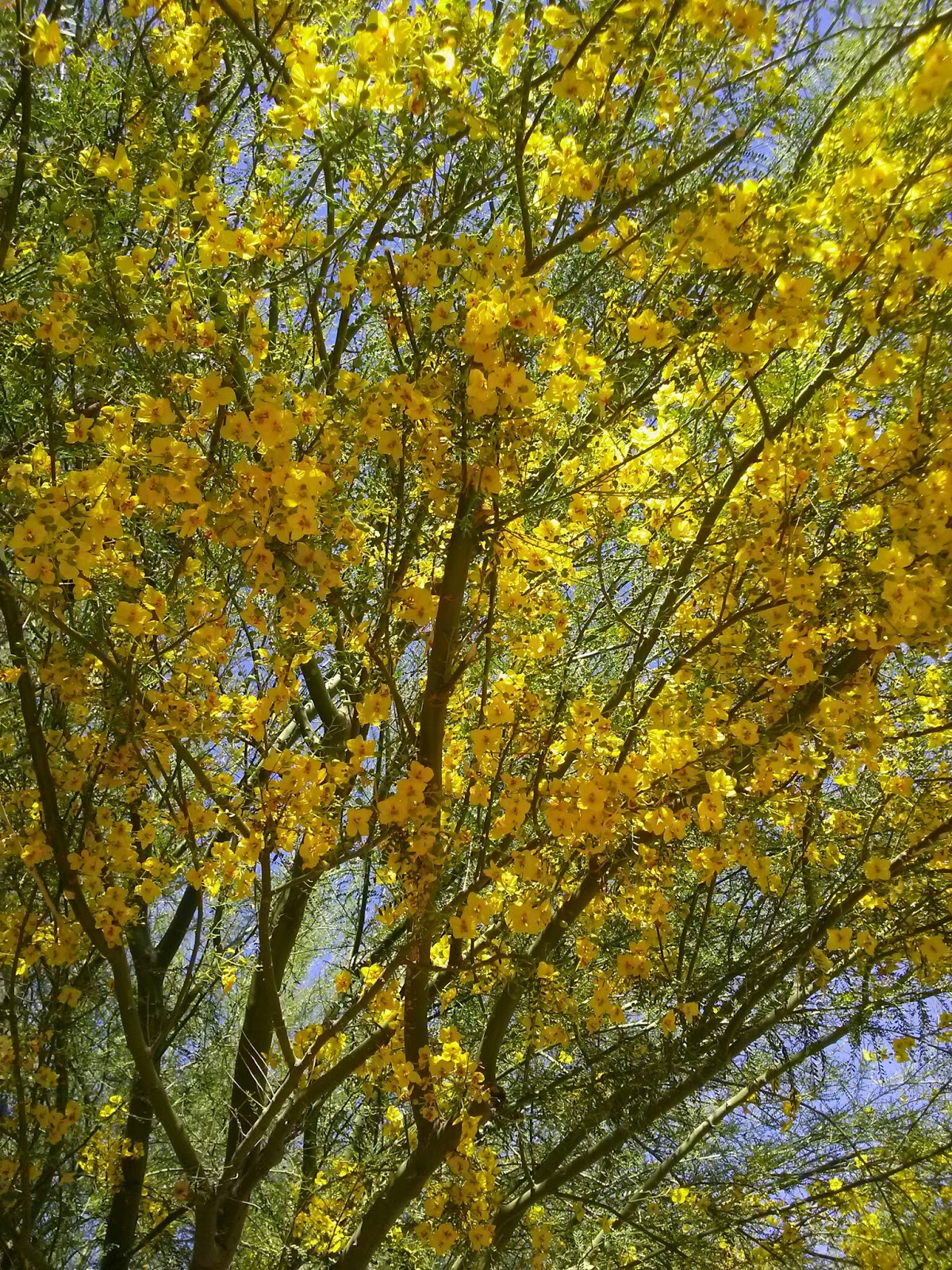 A small sunny garden a short look at palo verde for Garden trees with yellow flowers