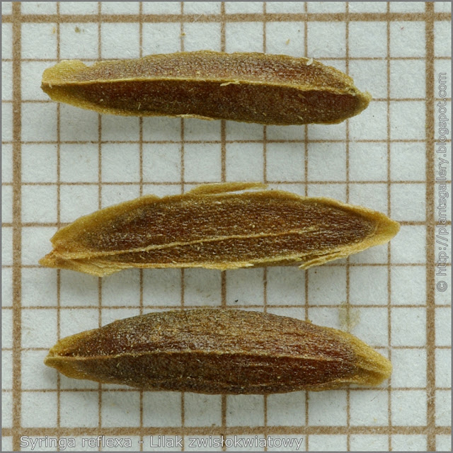 Syringa reflexa seeds - Lilak zwisłokwiatowy nasiona