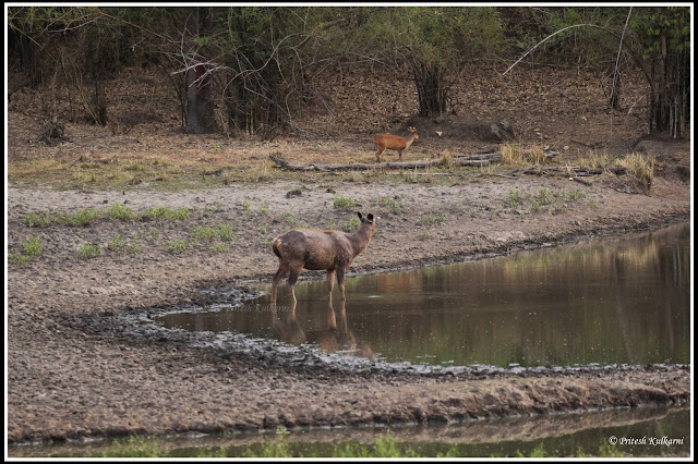 Sambar and Barking deer in one frame at Kanha National Park