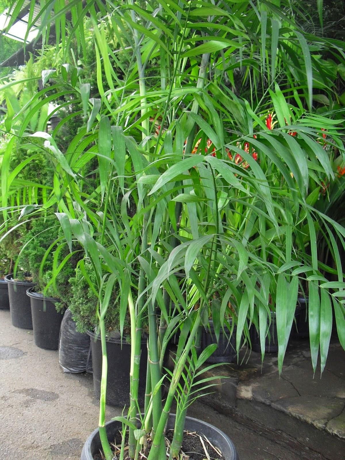 Jual pohon palm komodoria | suplier tanaman | tanaman hias | jasa desain taman