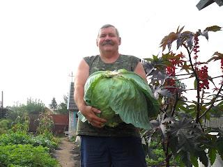 созревший кочан капусты
