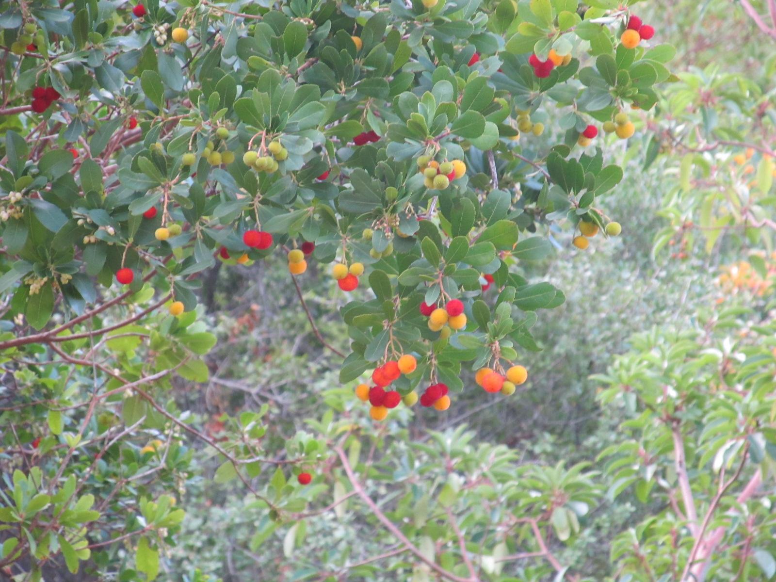Koca yemiş ağacı ve meyveleri