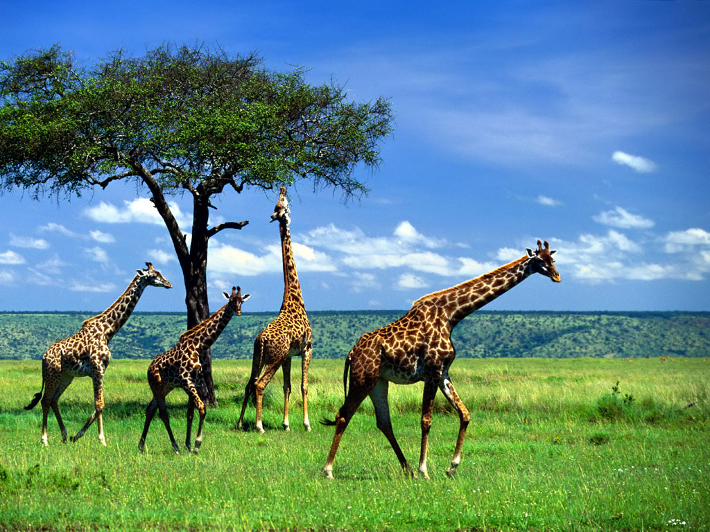 Giraffe Wallpapers | Animals Library