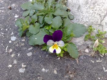 Viola Tricolor  (Viola del pensiero)