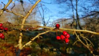 Crataegus, detalle del fruto