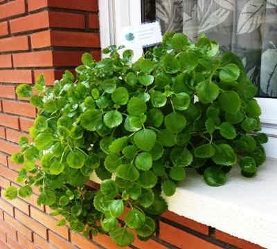 Esencia del ser plantas para atraer el dinero for Planta del dinero feng shui
