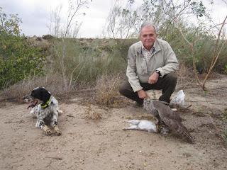 Azor y setter cazando conejo
