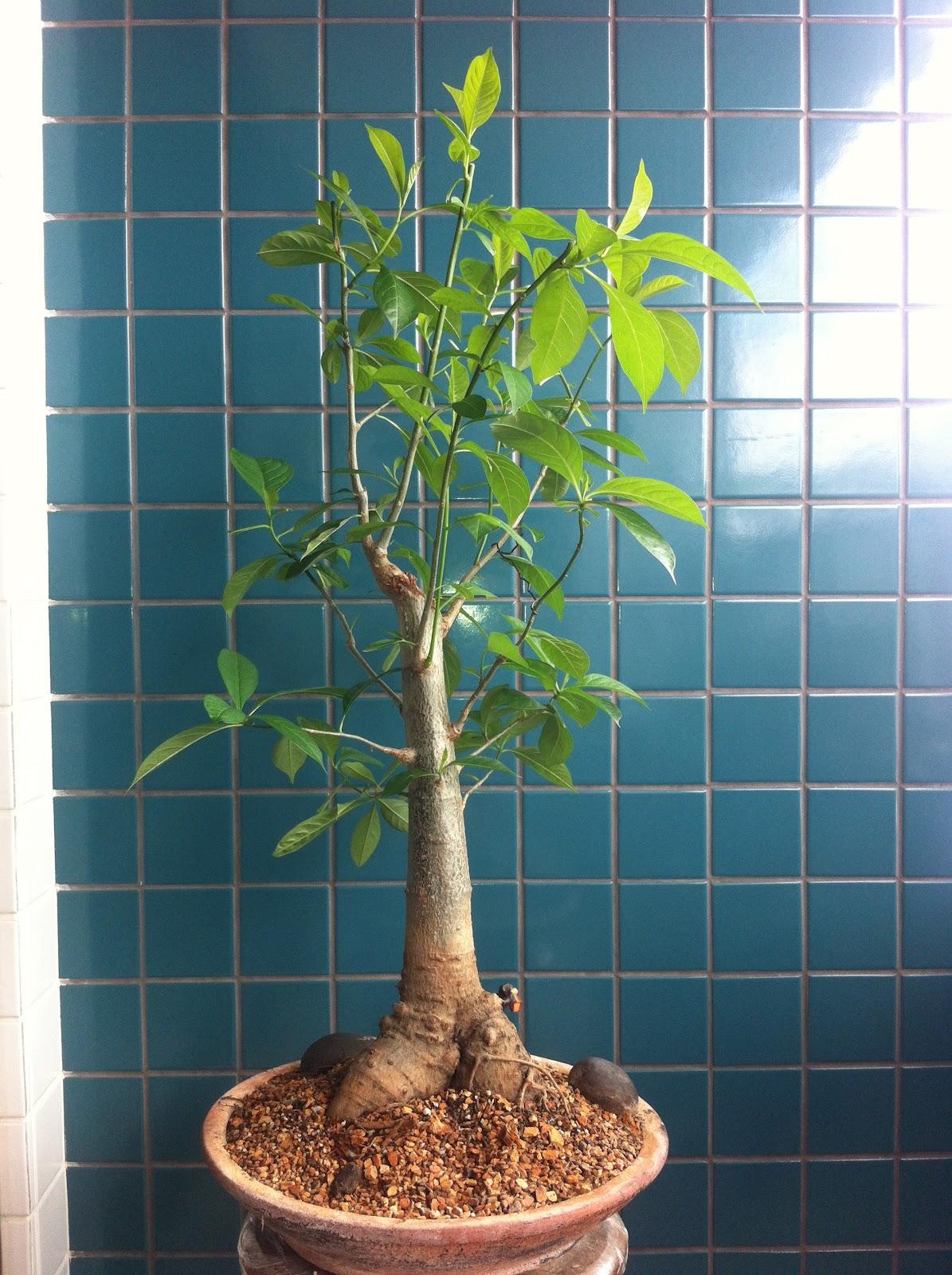 Bonsai de baob onde encontro bonsai de baob existe for Dove comprare bonsai