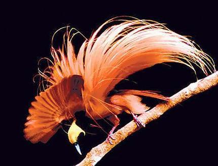 სამოთხის ფრინველები