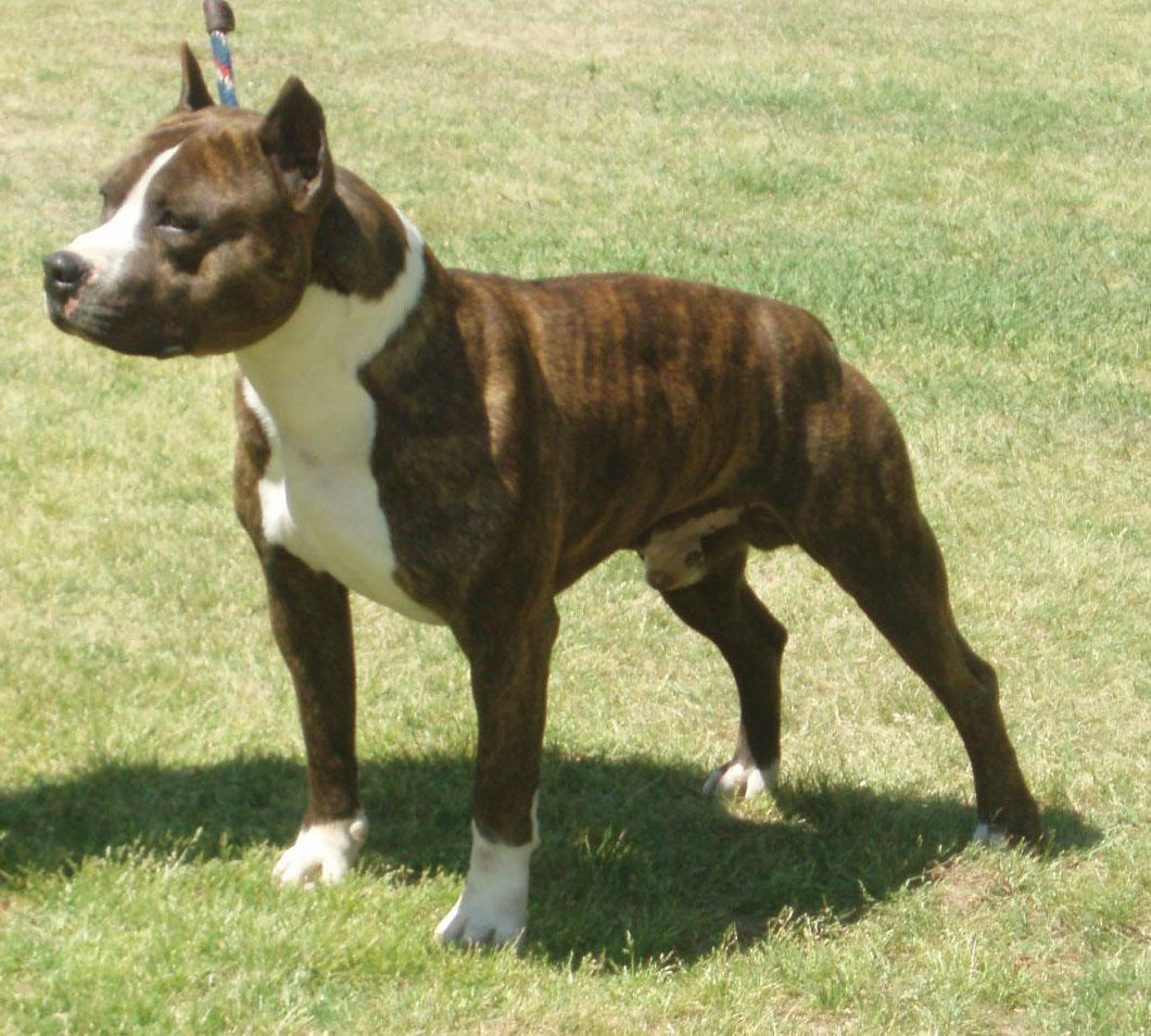 Breed of the Month--American Staffordshire Terrier