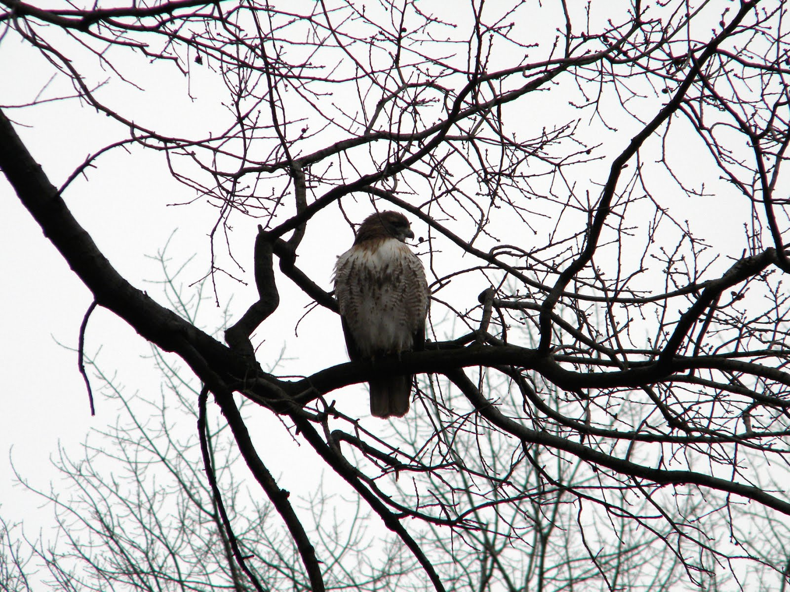 Hawk at Strawberry Fields